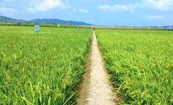 国家南繁(陵水)椰林镇水稻育种基地