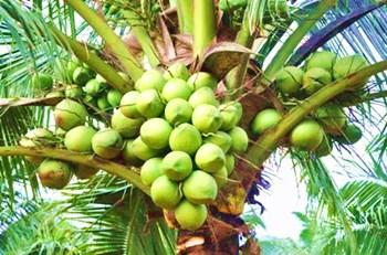 文椰4号:东南亚引进的香水椰子选种改良优质子品种