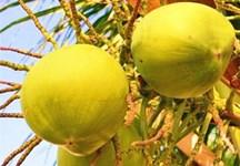 文昌椰生活:吃椰子菜、喝椰子汁,靠椰子发财致富