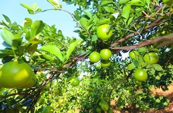 琼中绿橙:独特气候造就地理标志证明商标产品