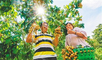 儋州:成熟的黄皮吸引游客采摘游玩
