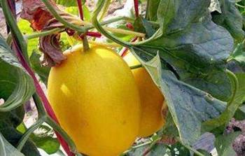 乐东甜瓜:具有独特的浓郁芳香味