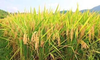 乐东:国家级水稻制育种基地县