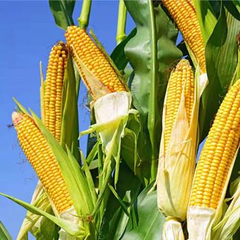 乐东:十分适合大田作物尤其是玉米的育种生长