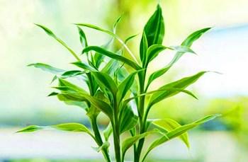 定安富贵竹:茎叶纤秀,柔美优雅,极富竹韵