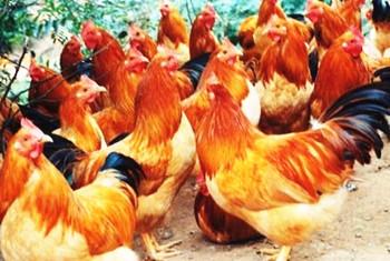 临高林下鸡:生态放养,纯天然、无污染,肉质鲜嫩紧实
