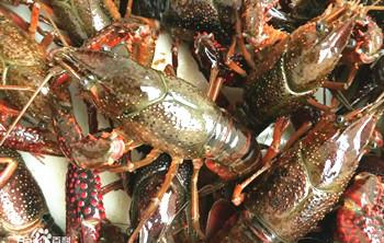 临高澳洲小龙虾:味道鲜美、可食率较高