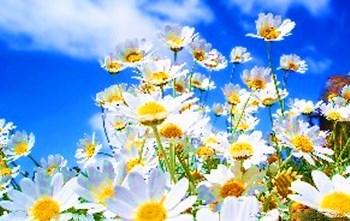 临高高山香菊:秀丽淡雅、洁白无瑕