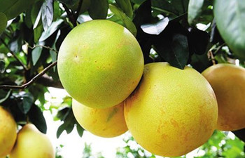 临高红心蜜柚:果大皮薄、色泽鲜艳、汁多柔软