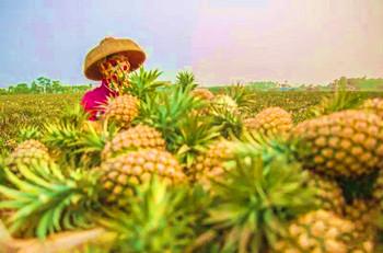 临高凤梨:果肉金黄,肉质细致,香味浓郁