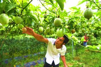 五指山毛道乡大力发展百香果种植产业
