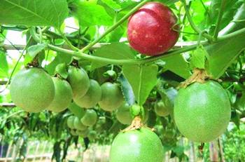 海垦百香果:果汁含量高,果肉多,味香