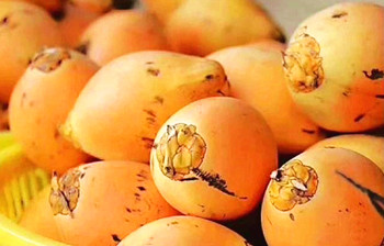 海垦金椰子:椰肉细腻松软,营养丰富