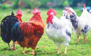 海垦林下鸡:肉质鲜嫩美味,在市场上很受欢迎