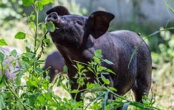 海垦生猪:规模化、生态化、智能化生产