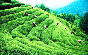 海垦白沙绿茶:滋味浓醇鲜爽,饮后回甘留芳