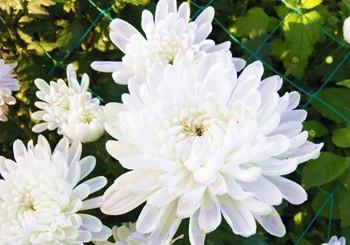 海垦菊花:色彩非常丰富,艳丽多彩
