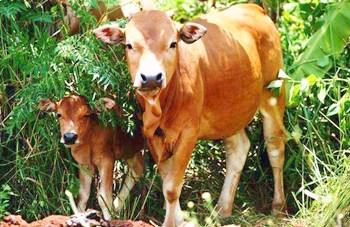 琼海小黄牛:肉质细嫩、味道鲜美,有嚼劲,少膻味