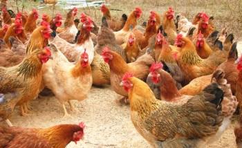 榕籽文昌鸡:虫草文昌鸡和鸡蛋新产品受市场欢迎