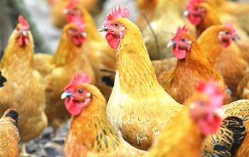 传味文昌鸡:集产品研发、规模养殖