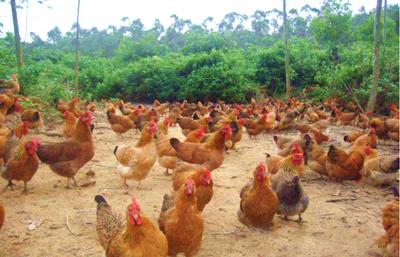 文昌市东郊镇中南村预计今年文昌鸡集体收入超20万