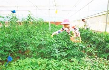 乐东:西黎村发展山羊、鹿舌菜等产业