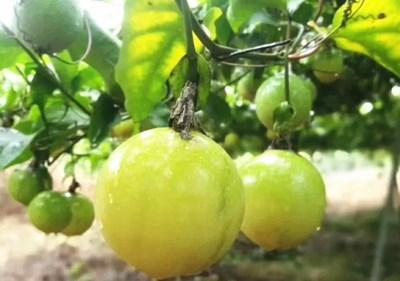陵水芭乐味黄金百香果香甜多汁 低至49.9元/5斤