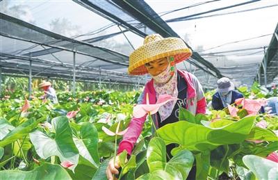 万博官网手机版网页版登录抱前村种植红掌16万株,销往广州等城市