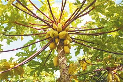 琼海:热带特色高效农业提质升级走出高效发展新路子