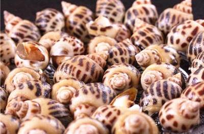文昌冯家湾花螺:肉质鲜美,营养丰富,酥脆爽口