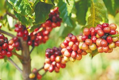咖啡市场潜力巨大,海南需..