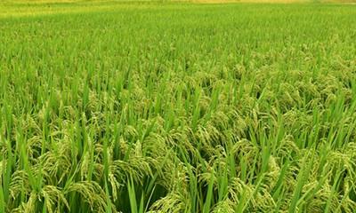 三亚南繁水稻丰收季来啦