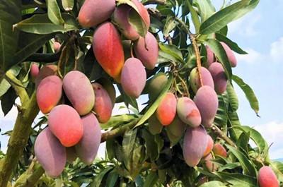 三亚芒果肉质鲜嫩、果型美、甜度高,销往全国各地