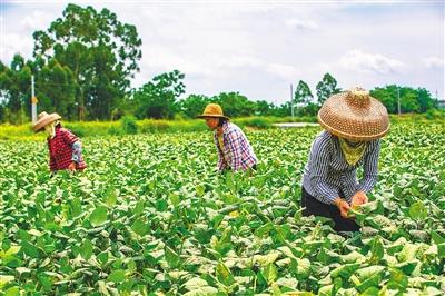 儋州大力推广种植新优品种,推动农业提质增效